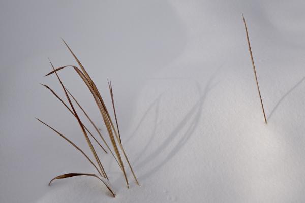 stalks in the snow